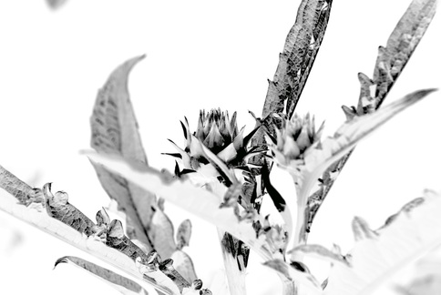 Reverse image black & white photo of a cardoon from my garden