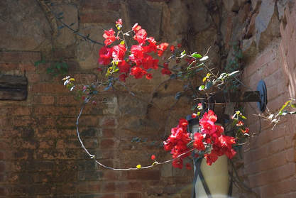 Red bougainvillea against an old wall